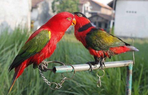 Harga Burung Nuri Anakan